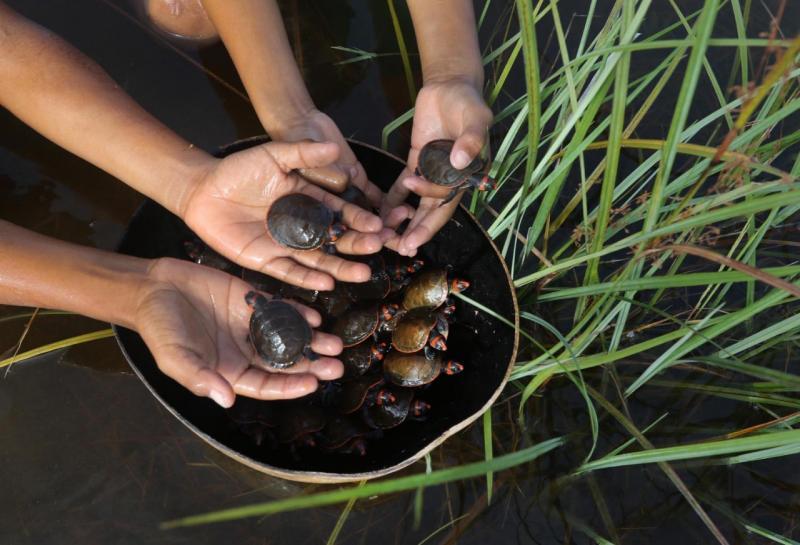 Mais de 300 mil filhotes de quelônios são devolvidos à natureza em unidades de conservação do Amazonas