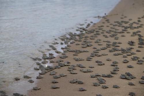 Na cidade Carauari -AM mais de 51 mil filhotes de quelônios são devolvidos à natureza