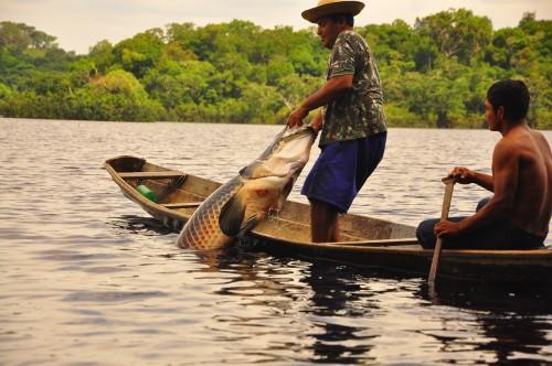 Pescadores artesanais do Amazonas vão receber subvenção econômica por quilo do pirarucu de manejo