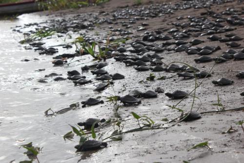 Em Nhamundá, 40 mil filhotes de tartarugas são soltos na natureza