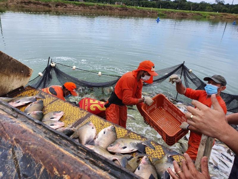 Governo do Estado, por meio do Idam, acompanha despesca de 100 toneladas de peixes a serem distribuídas na Semana Santa