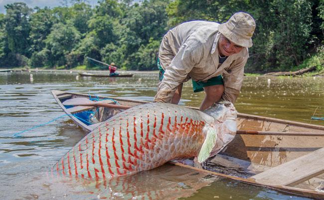 Sepror capacita pescadores do município de Maraã em contagem de pirarucu