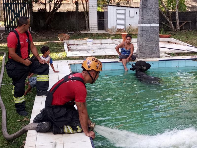Búfalo de 500 quilos  é resgatado pelos Bombeiros após cair em uma piscina