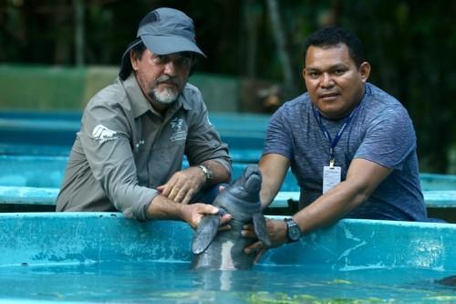 Filhote de peixe-boi é resgatado na APA Nhamundá e trazido de barco até Manaus